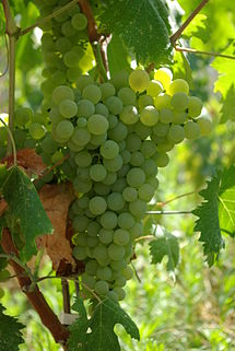 Hot climates hot cultivar: An introduction to Vermentino