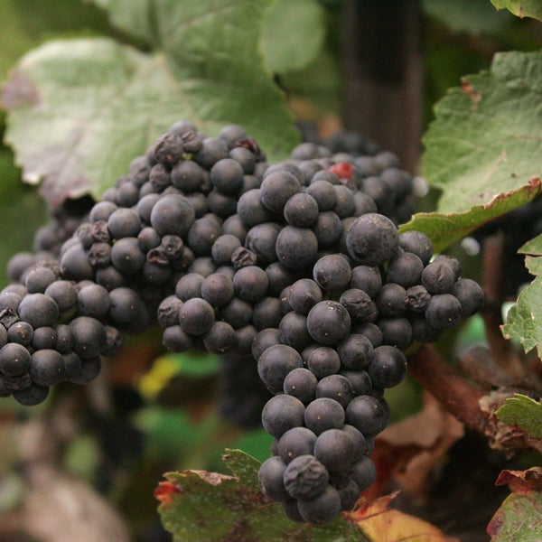 Durif: A Warm Climate Variety with Legs